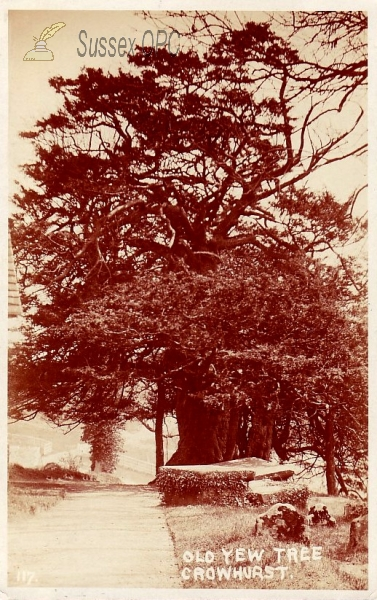 Image of Crowhurst - Old Yew Tree (in churchyard)