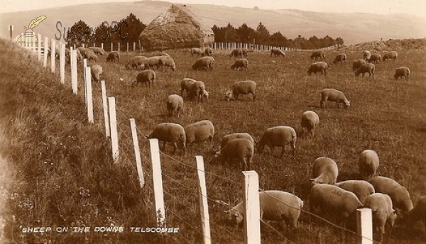 Telscombe - Sheep on the Downs